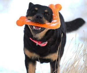 Boomerang Dog Bone
