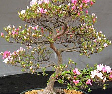 Cherry Blossom Bonsai Seeds