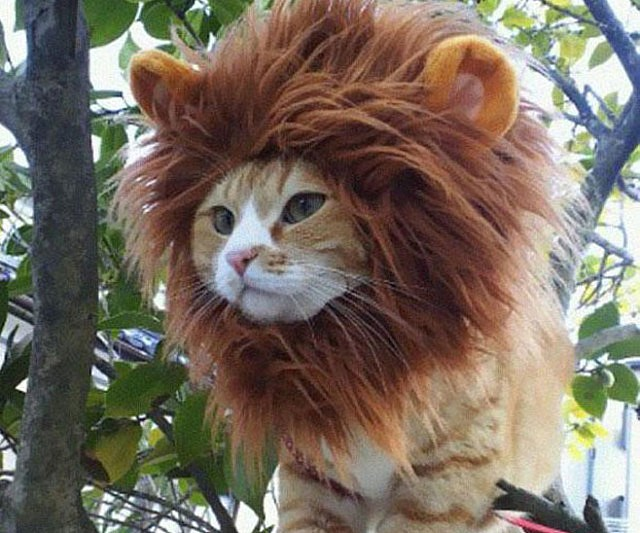 lion-cat-hat1-640x533.jpg