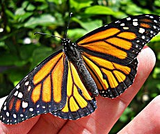 monarch-butterfly-kit