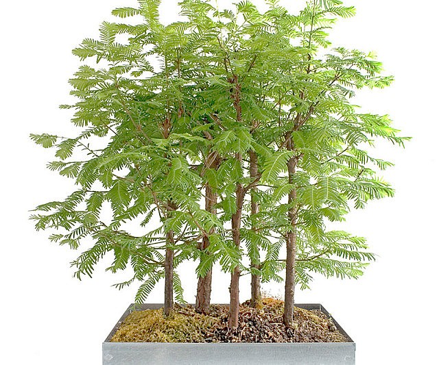 Redwood Bonsai Mini Forest