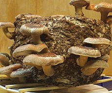 shiitake-mushroom-growing-kit