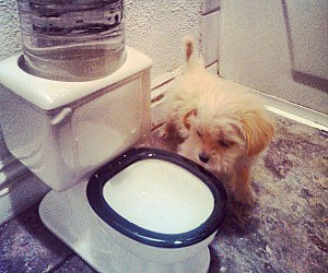 Toilet Bowl Pet Drinking Fountain